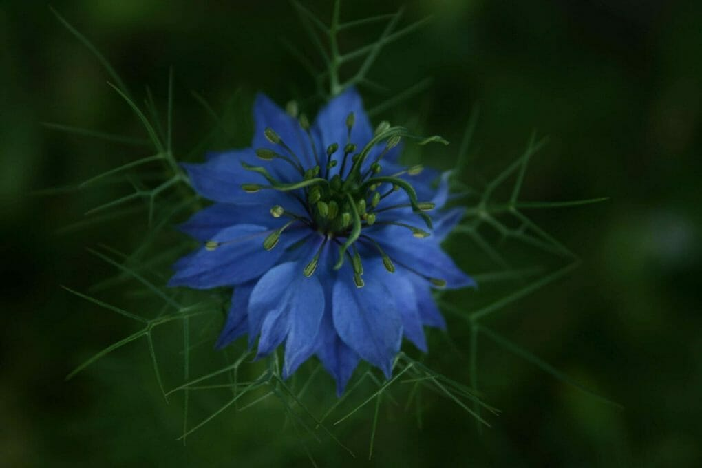 Nigella Sativa Flower