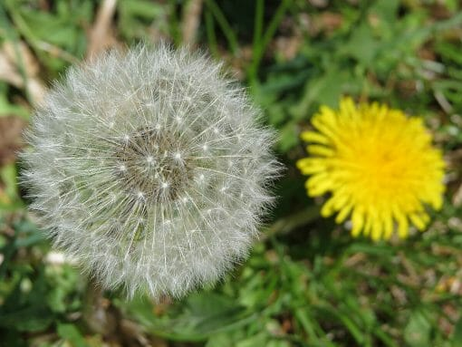 Dandelion Leaf Extract And SARS CoV Spike Protein